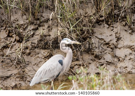 A great blue heron standing in water of a muddy stream - stock photo