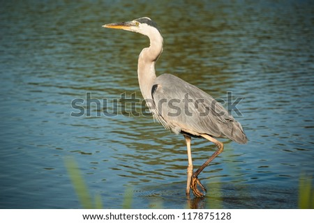 A great blue heron wades in the shallow waters of a pond. - stock photo