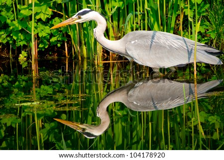 A great blue heron waiting patiently for a catch - stock photo