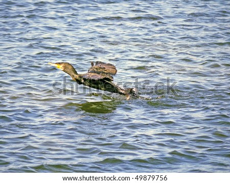 a great cormorant taking off from a lake's surface - stock photo