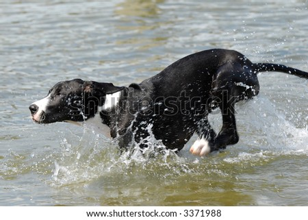 A Great Dane puppy is running in the water - stock photo