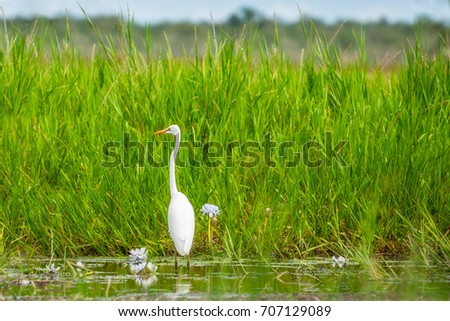 A Great Egret in the grass at Corroboree Billabong in Northern Territory, Australia, a pristine wetland and part of Mary River eco system. It is a paradise for birds, fish and other wildlife.