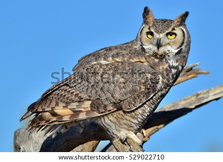 A Great Horned Owl (Bubo virginianus), aka the Tiger Owl in Tucson, in the Arizona Sonoran Desert.