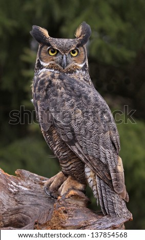 A Great Horned Owl (Bubo virginianus) sitting on a tree stump. - stock photo