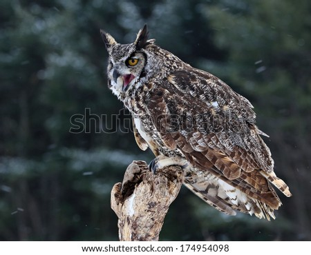 A Great Horned Owl (Bubo virginianus) squaking from a perch with snow falling in the background.  - stock photo