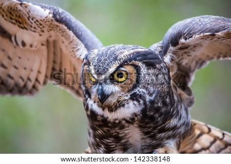A Great Horned Owl in flight. Carolina Raptor Center. - stock photo