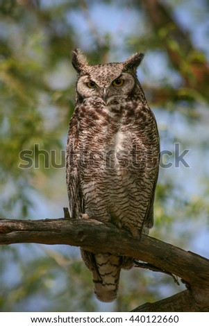 a great horned owl sitting in a tree out in nature on a hot summer day  - stock photo