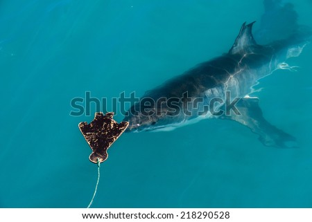 A great white shark approaches the decoy in Gansbaai, South Africa - stock photo