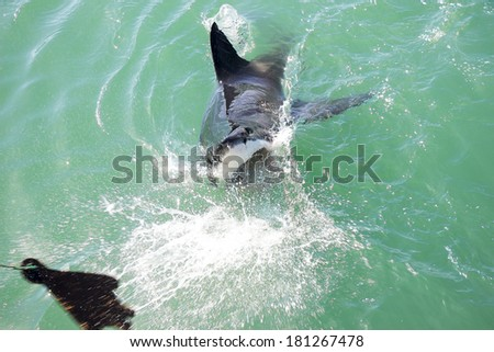 A Great White Shark Attacking a Wooden Seal Decoy in the Ocean - stock photo
