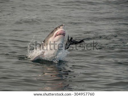 A great white shark breaching in attempt to catch a seal in False Bay, South Africa - stock photo