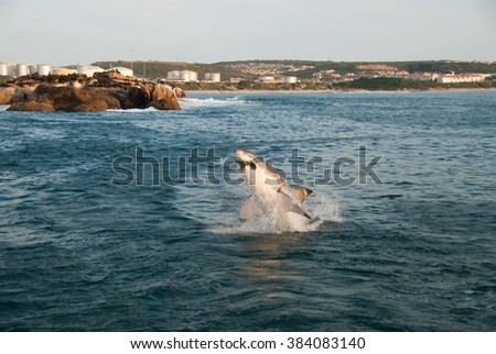 A great white shark breaching out of the water and biting down on a seal cut out