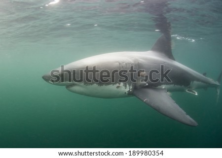 A Great White shark (Carcharodon carcharias) swims just under the surface of the ocean. This apex predator is one of the most dangerous species on Earth. - stock photo