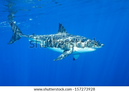 A great white shark swimming at Guadalupe Island looking for food. - stock photo