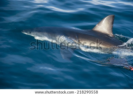 A great white shark swims past the decoy of a cage diving boat in Gansbaai, South Africa - stock photo