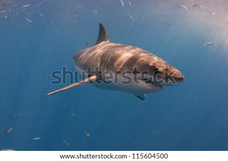 A great white shark turns through the water at a popular dive tourism destination at Guadeloupe island Mexico. - stock photo