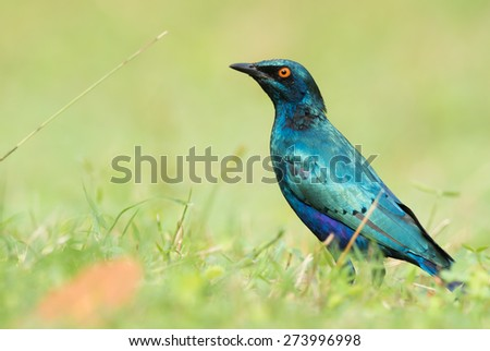 A Greater Blue-eared Glossy Starling (Lamprotornis chalybaeus) in a grassy field - stock photo