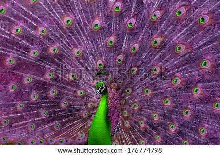 A green and purple peacock. - stock photo