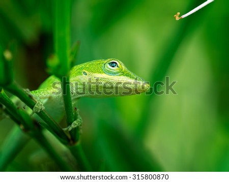 A green anole lizard looking up while it's picture is being taken.