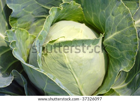 A green cabbage ready to be picked - stock photo