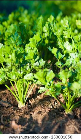 a green  celery on garden - stock photo