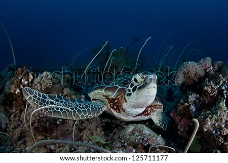 A Green (Chelonia mydas) lies on a tropical Pacific coral reef.  This endangered species is widespread in the tropics.