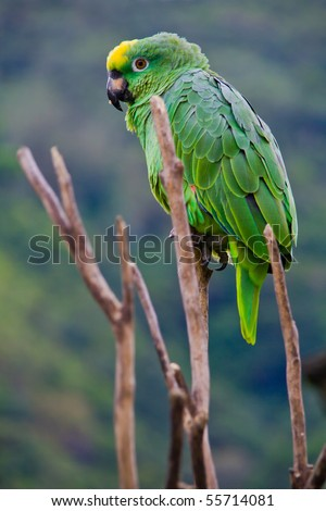 a green costa rican parrot sitting on a death tree
