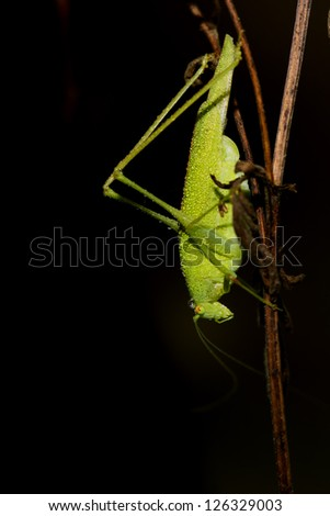 A green cricket portrait