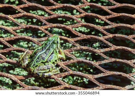 A green edible frog, also known as the Common Water Frog , sits on a stone. Edible frogs are hybrids of  pool frogs and marsh frogs. - stock photo