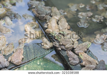A green edible frog, also known as the Common Water Frog , sits on wood. Edible frogs are hybrids of pool frogs and marsh frogs. - stock photo