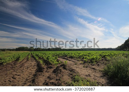 A green farm land with beautiful blue sky during summer time in Netherlands