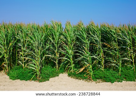 A green field of corn growing up. Agriculture background - stock photo