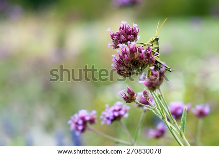 A green grasshopper clings to a red clover flower in a field.   The clover is a spiky purple flower while the grasshopper is green, black and yellow.  There is ample copy space on the left side. - stock photo