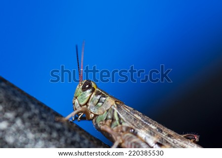 A green grasshopper with large black eyes sitting on a metal surface in the sunshine with a blue background.
