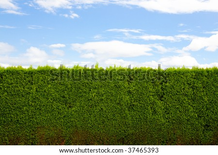 A green hedge and blue sky with clouds forms a unique and interesting abstract image that is very simple and perfect for design usage such as background image or room for text and copy space. - stock photo