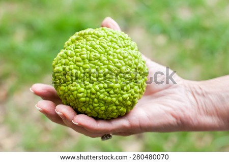 A green hedge apple from an osage orange tree is held in a woman's hand.  The tree is often used as a wind break, but the large bumpy green fruit can be a nuisance in the home landscape. - stock photo