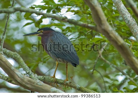 A Green Heron (Butorides virescens) on the ponds edge.