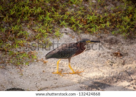 A green heron strolls the beach in search of food. - stock photo