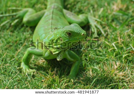 A green iguana creeping through green grass.