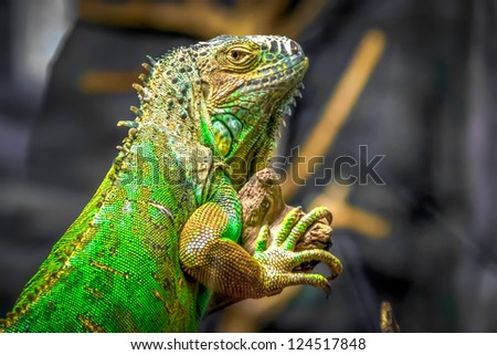 A Green Iguana on a tree branch. - stock photo