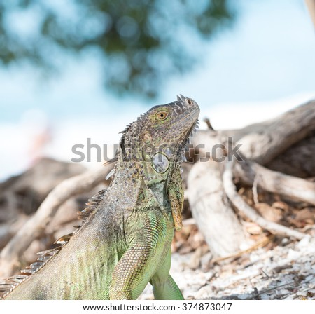 A green iguana on the beach with the ocean in the background
