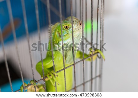 A green iguana standing in cage