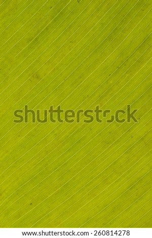 A green leaf backlit to show vein detail for background - stock photo