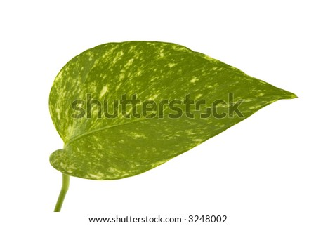 A green leaf isolated on white background