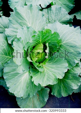 A green leafy biennial plant grown as vegetable crop to get its dense leaved head.