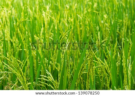 A green paddy field - stock photo