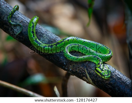A green Pit Viper in a tree