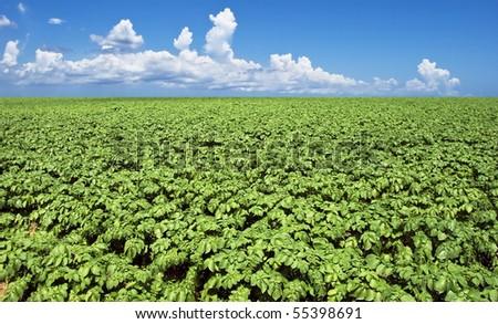 a Green potato field - stock photo