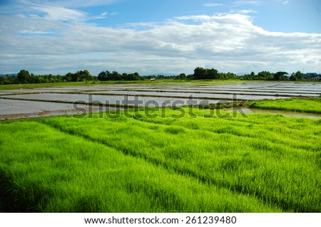 a green rice field - stock photo
