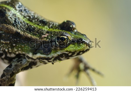 A green river frog close up