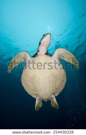 A Green sea turtle (Chelonia mydas) ascends to the surface to breathe in the Republic of Palau. This species of reptile is found worldwide and is still hunted for meat around many islands. - stock photo